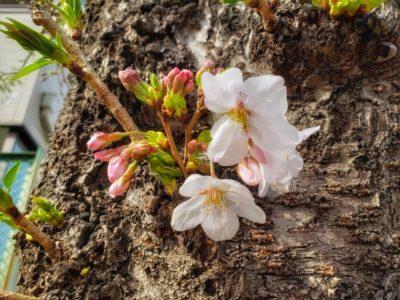 ソメイヨシノの花が咲いていた